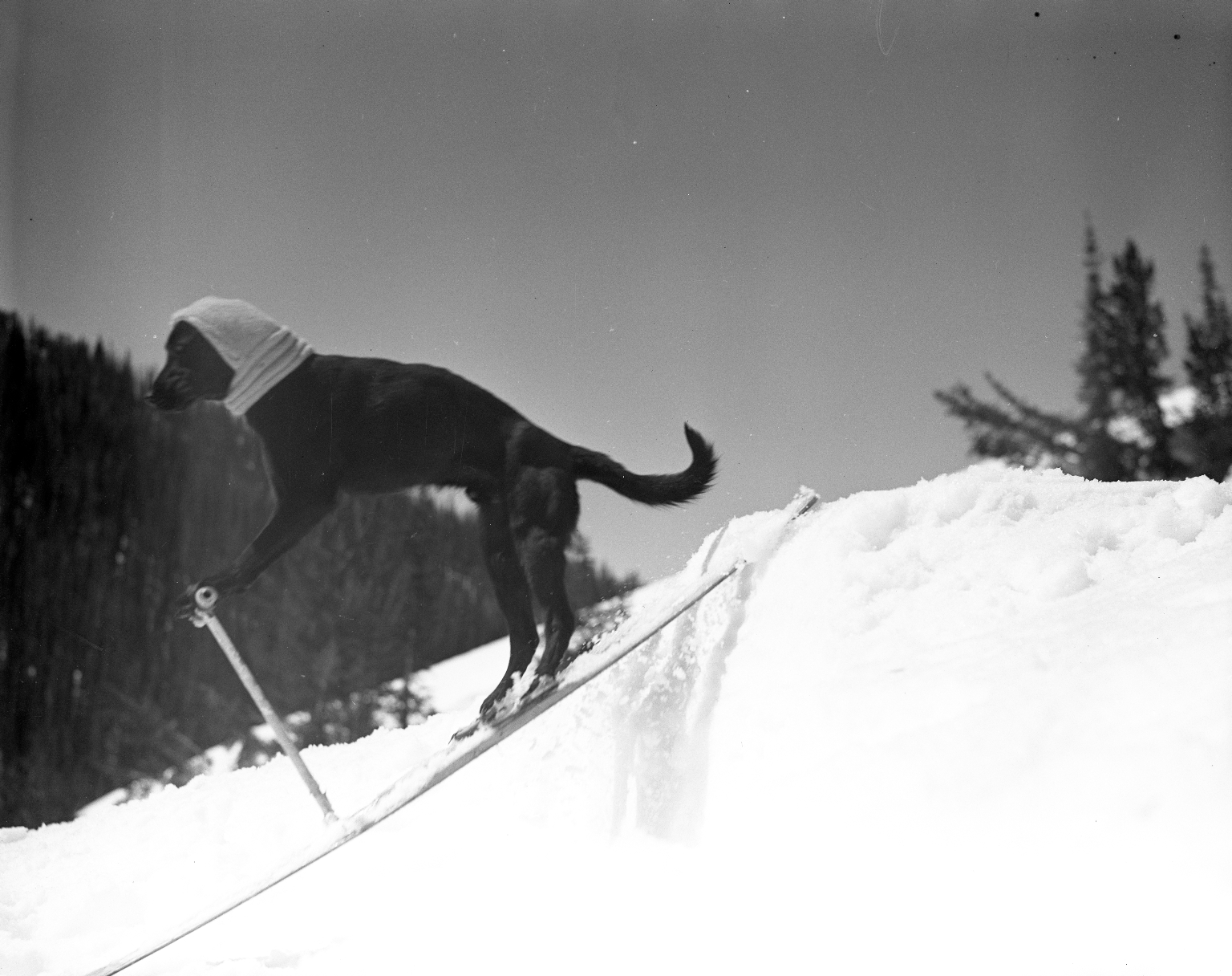 Frostie, the skiing dog.